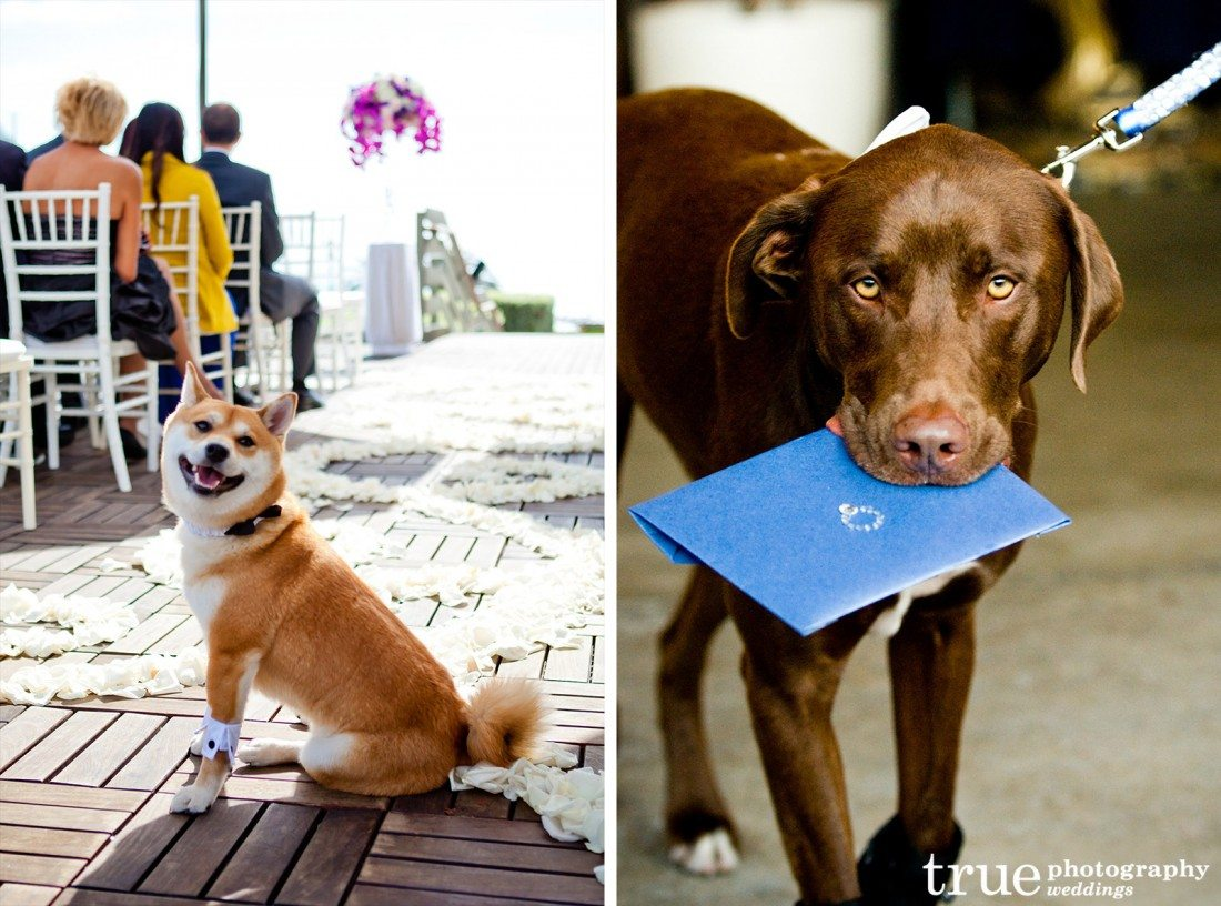 Dogs-as-ring-bearers-at-wedding