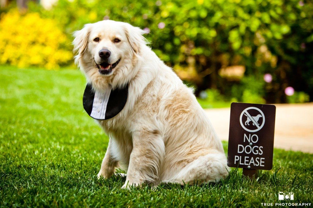 Golden retriever at a wedding