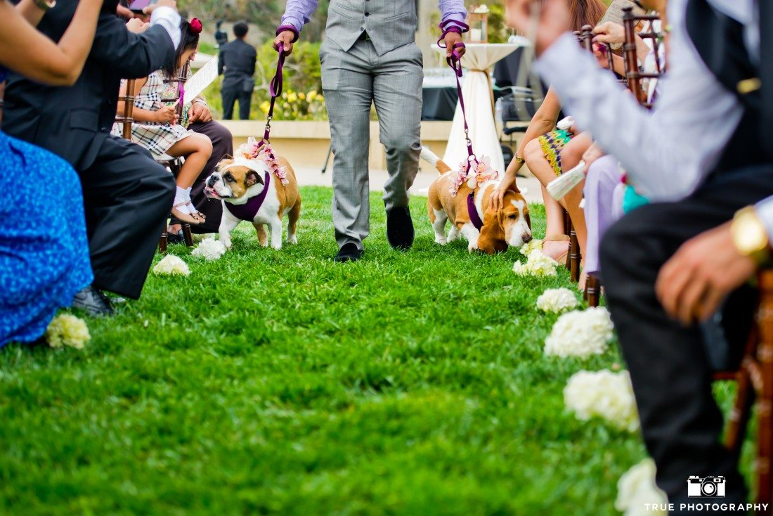 Bulldog and Basset Hound in a wedding