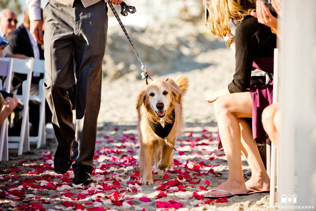 Golden Retriever walks down the aisle during a wedding