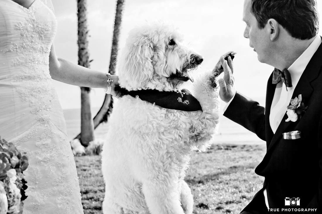 Labradoodle with Bride and Groom