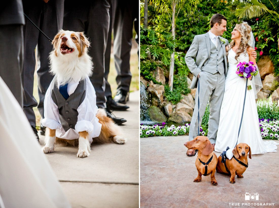 Dachshunds and an Aussie in wedding